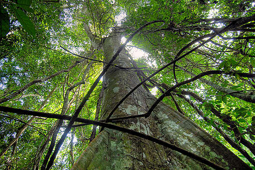 Tree in Rainforest. © Thomas Einberger / argum / Greenpeace