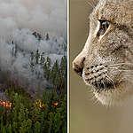 Sibiriens skogar brinner i rekordtemperaturer