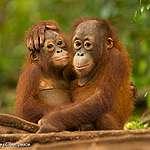 Orangutanger lever endast på två öar – hotas av utrotning