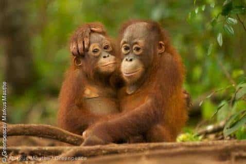 Palmöl-Gigant Wilmar will Regenwälder schützen