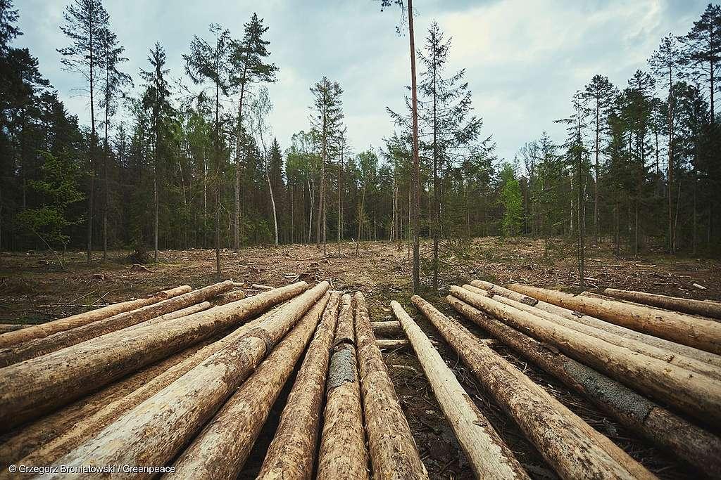Keine Abholzung im UNESCO-geschützen Bialowieza-Urwald!
