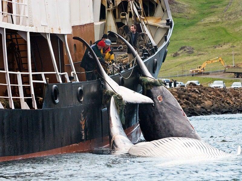 Isländische Walfänger töten bedrohte Finnwale