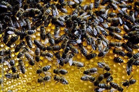 Syngenta und Bayer wollen Pestizid-Verbot zum Schutz der Bienen stürzen