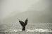 Humpback Whale in Great Bear Rainforest in Canada