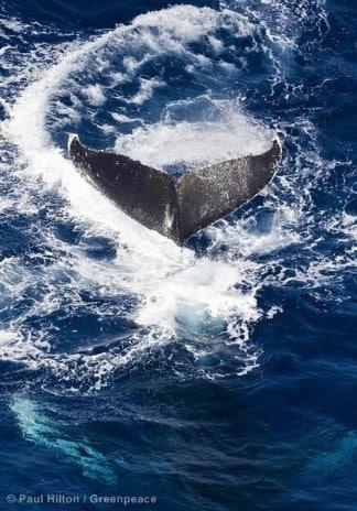 Buckelwale im Indischen Ozean