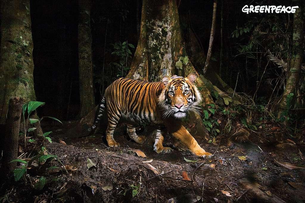 Neuer Palmöl-Report: Lizenz zum Töten Palmölindustrie treibt Sumatra-Tiger an den Rand des Aussterbens
