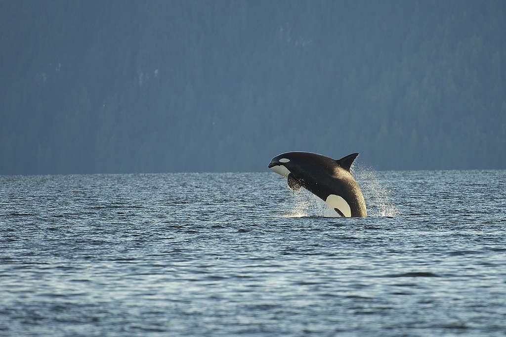 Das Walgefängnis in der Srednyaya-Bucht
