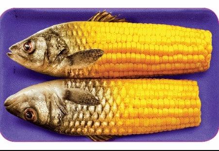 Gentech Maisfisch