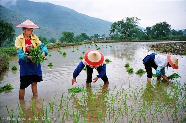 Chinesischer Gesetzesvorschlag für gentechfreie Grundnahrungsmittel