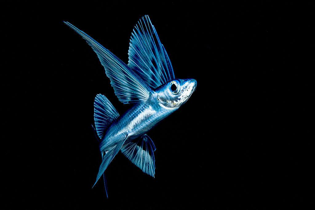 Les sept espèces (et la pollution plastique) rencontrées en mer des Sargasses