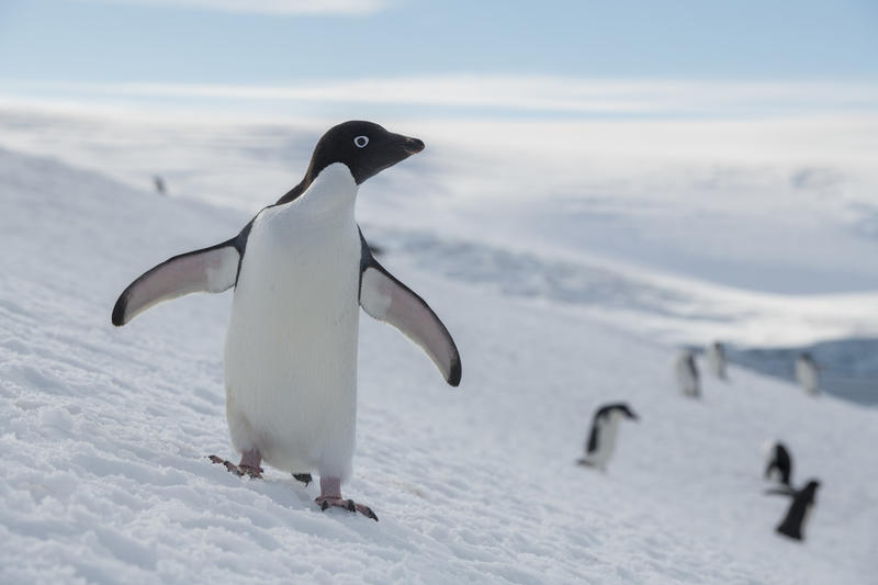 So bedroht die Klimakrise das Leben unserer Pinguine