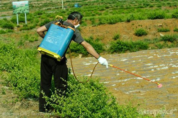 大陸農夫在金銀花田中噴灑農藥