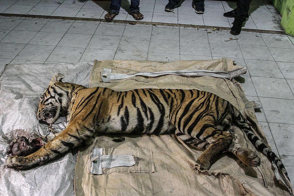 誤觸捕獸陷阱而受傷身亡的蘇門答臘虎。