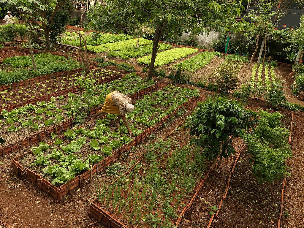巴西聖保羅一處綠意盎然的都市菜園。
