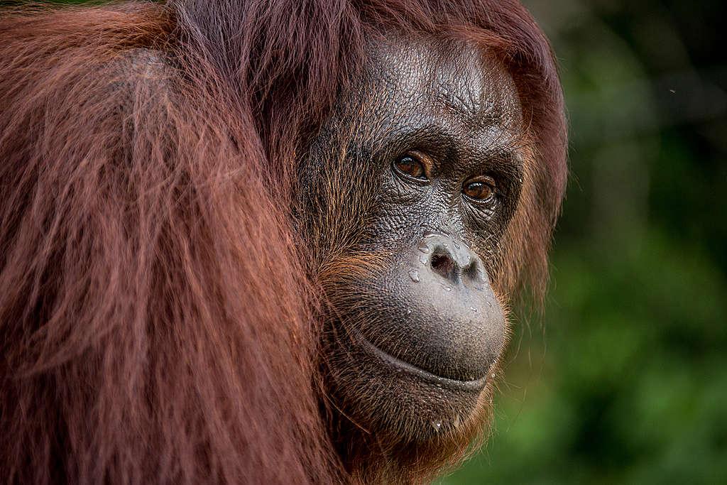 紅毛猩猩的家園日漸縮減,生態豐富的原始雨林變成油棕樹種植園、生產棕櫚油,讓牠們的生存岌岌可危
