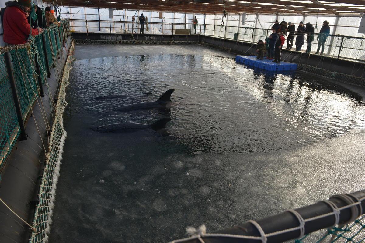 2019年1月,俄羅斯的鯨豚監獄,共有11隻虎鯨和87隻白鯨,在等待被售出期間會待在這個狹小的水槽,直到中國海洋公園買走後將用於示範表演。