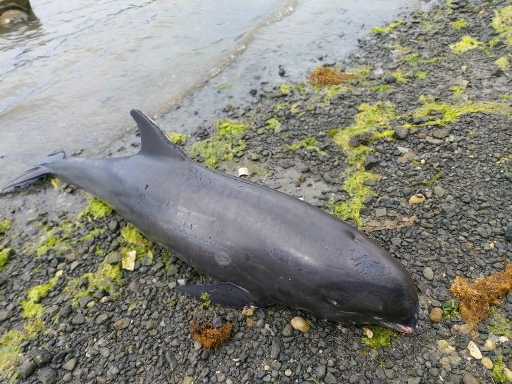 貨輪燃油污染後,模里西斯民眾在當地海岸發現多隻擱淺死亡的海豚。