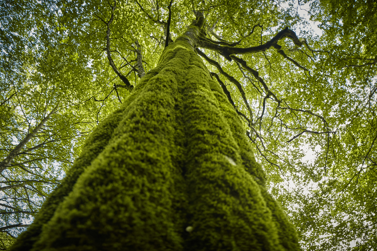 Beauty of the Carpathian Forest in Romania. © Mitja  Kobal / Greenpeace