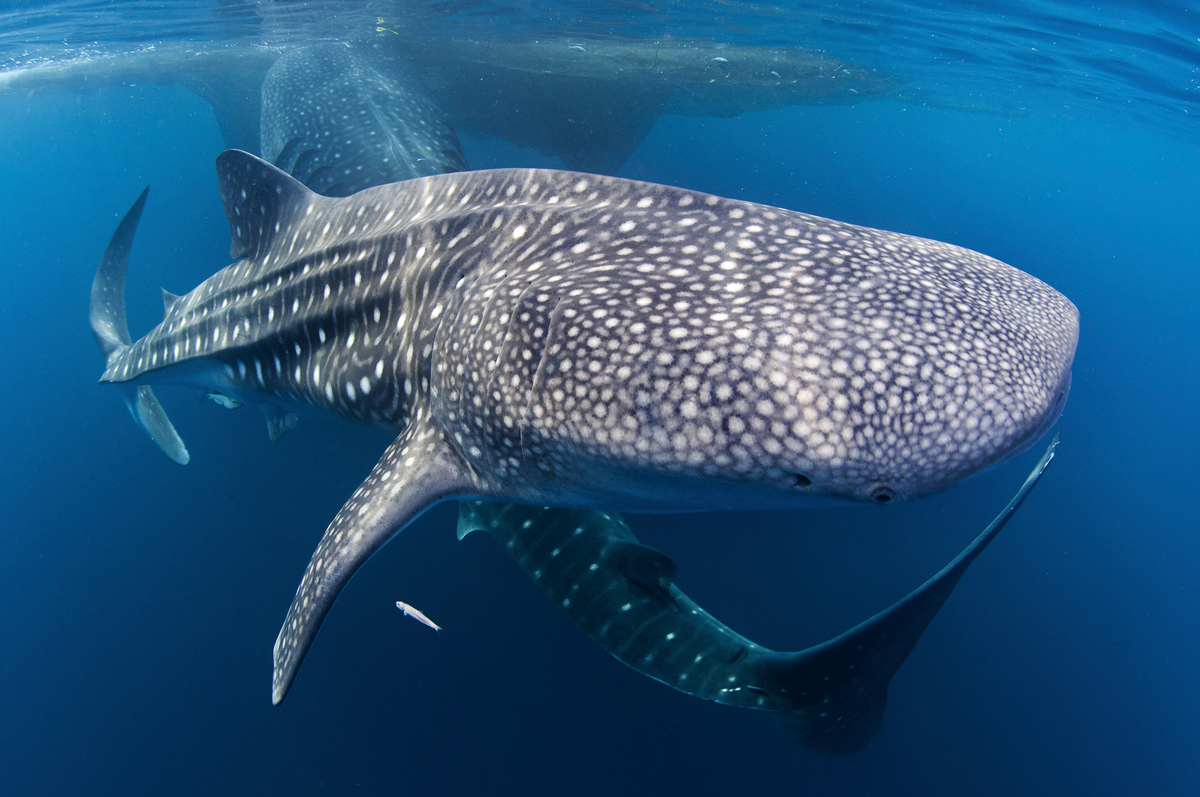 Whale Sharks in Cenderawasih Bay. © Paul Hilton / Greenpeace