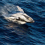 Humpback Whale in the Indian Ocean. © Paul Hilton / Greenpeace