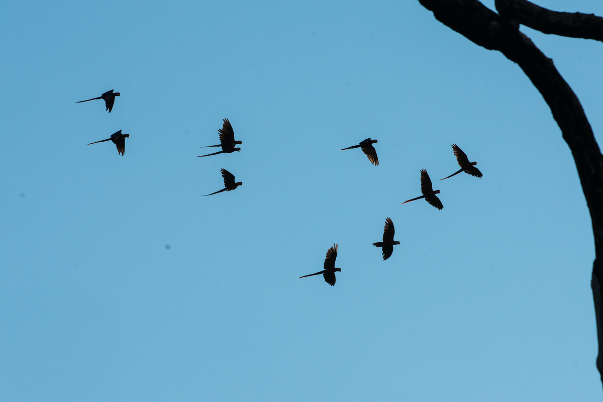 Red-and-Green Macaws Flying over the Tapajós River in the Amazon Rainforest. © Valdemir Cunha / Greenpeace
