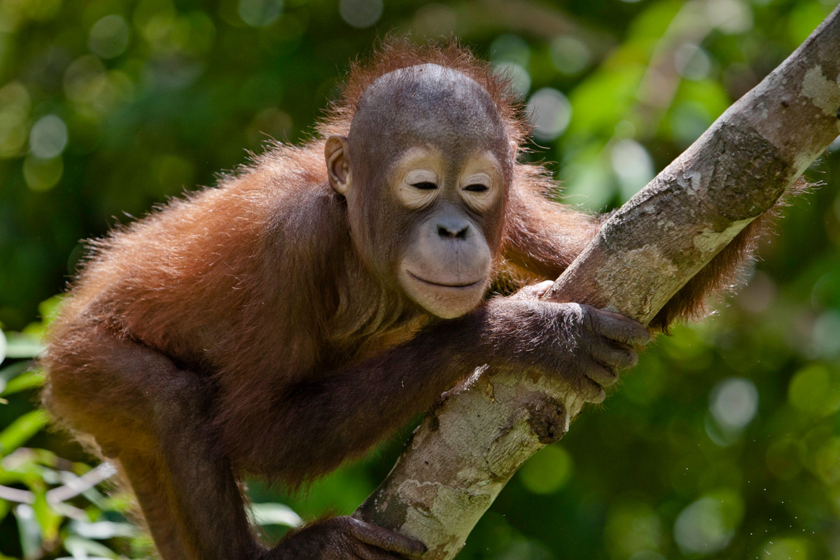 Orangutan in Central Kalimantan. © Ulet Ifansasti / Greenpeace