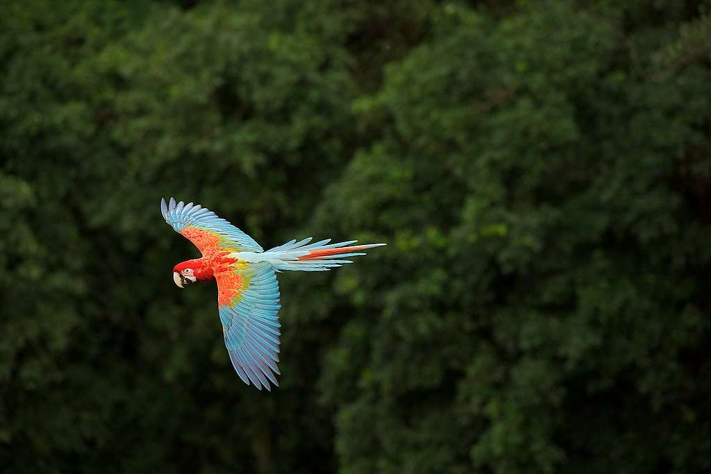 Ara Parrot in Brazilian Rainforest. © Markus Mauthe / Greenpeace