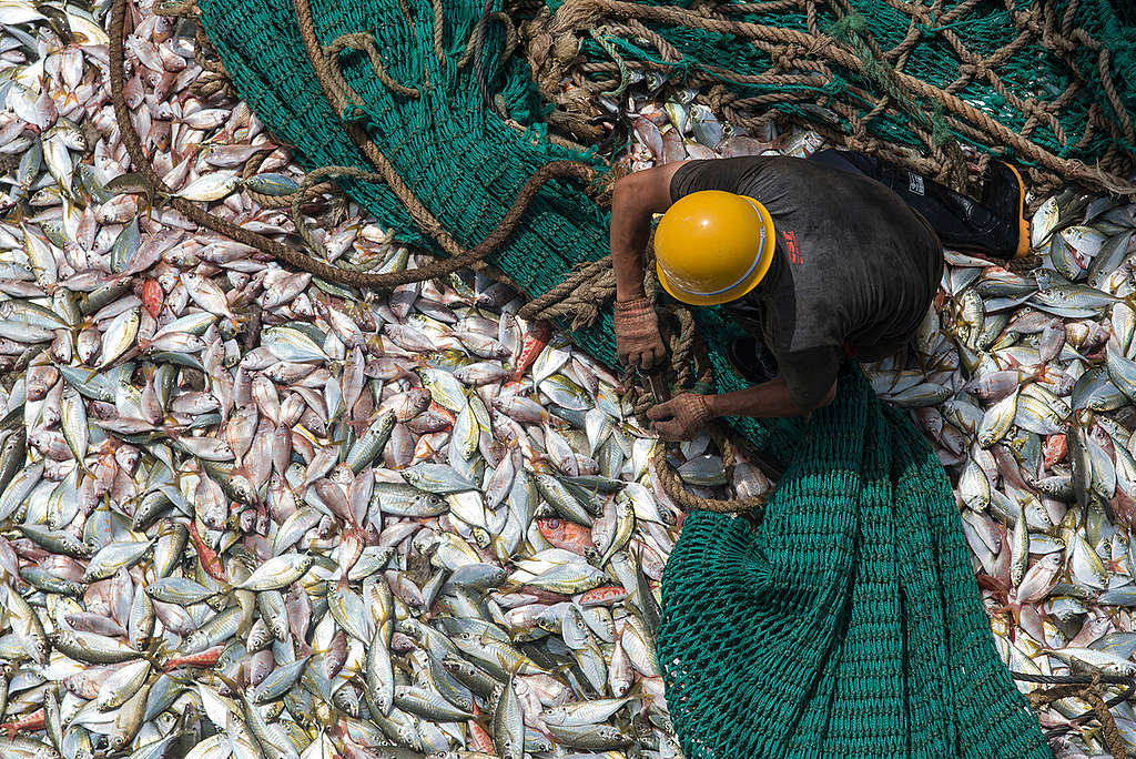 Catch on Board Chinese Fishing Vessel in Guinea. © Pierre Gleizes / Greenpeace