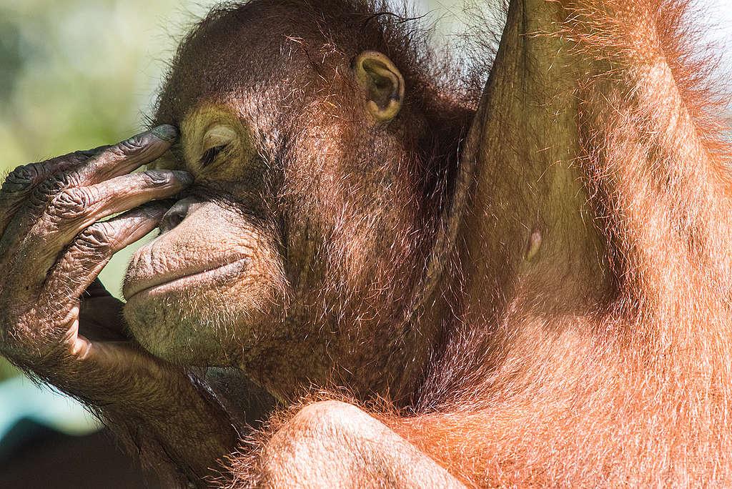 Orangutan at Rehabilitation Centre in Borneo. © Claire Donner / Greenpeace