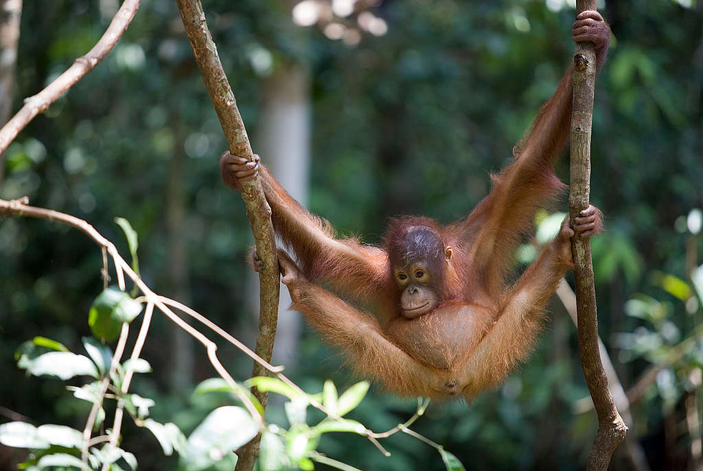 Orangutan at Borneo Orangutan Survival Foundation. © Greenpeace / Natalie Behring