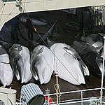 Greenpeace witnesses the killing of whales - Southern Ocean Tour 2005 - Sutton-Hibbert. © Greenpeace / Jeremy Sutton-Hibbert