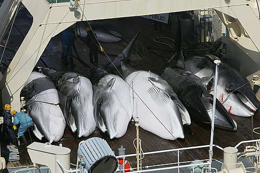Greenpeace witnesses the killing of whales - Southern Ocean Tour 2005 - Sutton-Hibbert. © Greenpeace / Jeremy Sutton-Hibbert