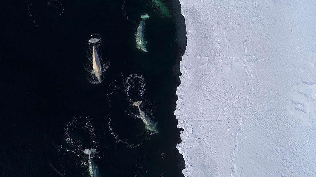 Beluga Whales in the Arctic. © Christian Åslund / Greenpeace