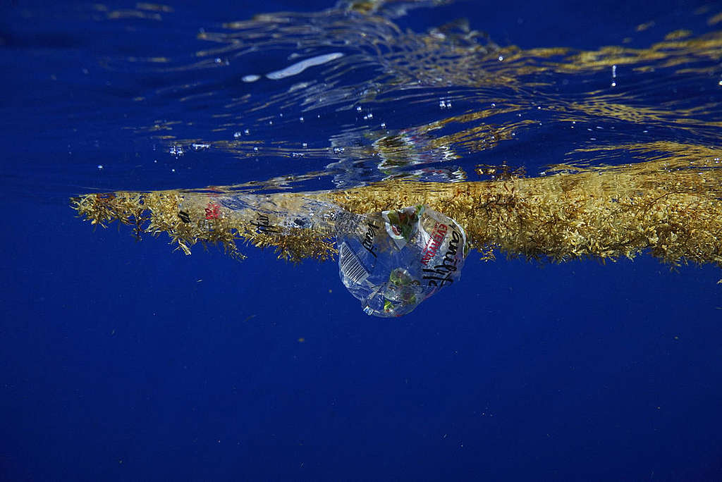 Plastic and Sargassum off the Coast of Florida. © Peter Cross / Greenpeace