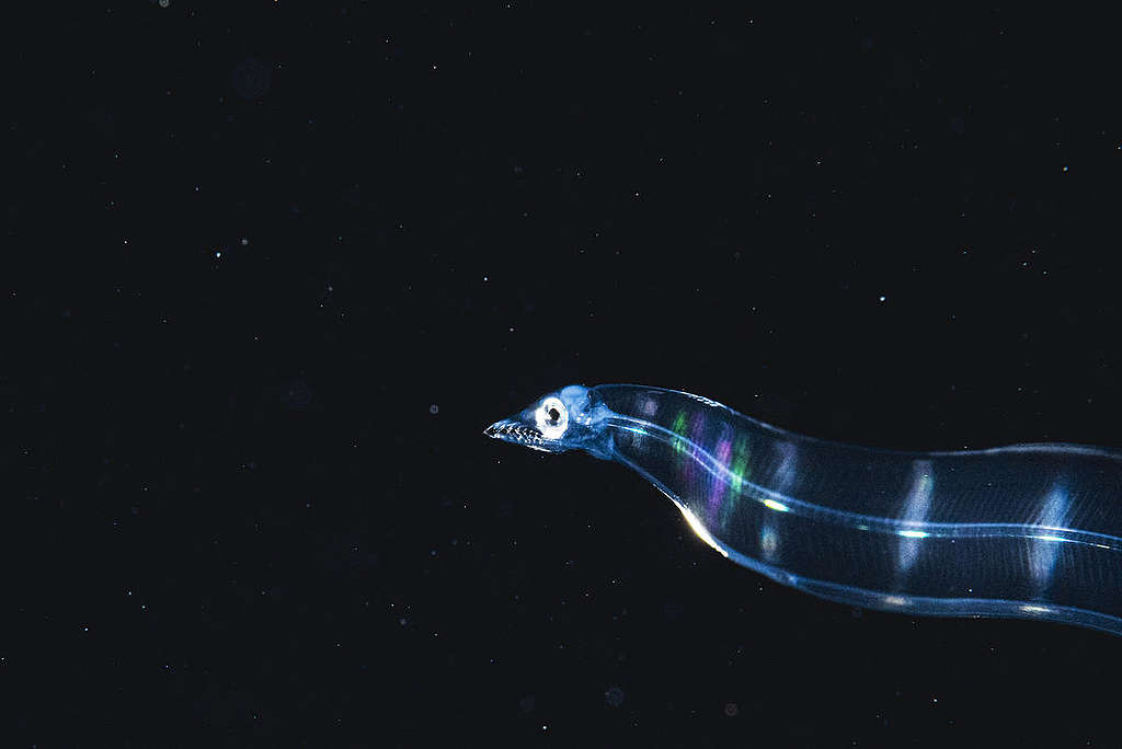 Glass Eel in the Sargasso Sea. © Shane Gross / Greenpeace