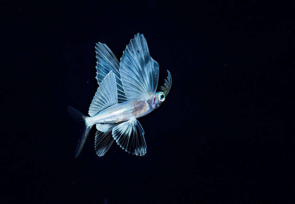 Flying Fish in the Sargasso Sea. © Shane Gross / Greenpeace