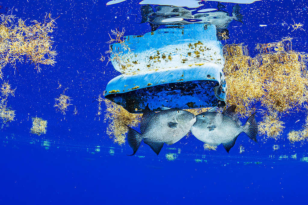 Fish and Plastic Debris in the Sargasso Sea. © Shane Gross / Greenpeace