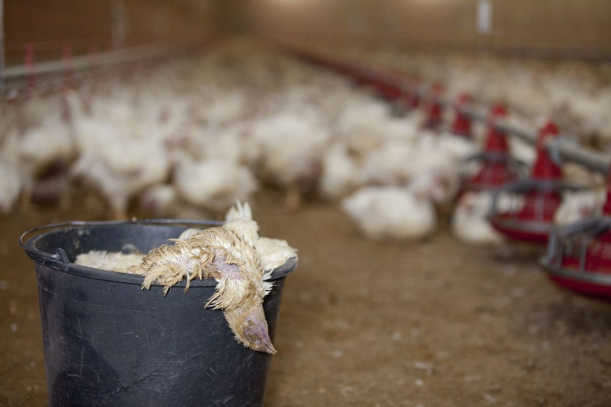 Chickens on Farm in North Germany. © Greenpeace