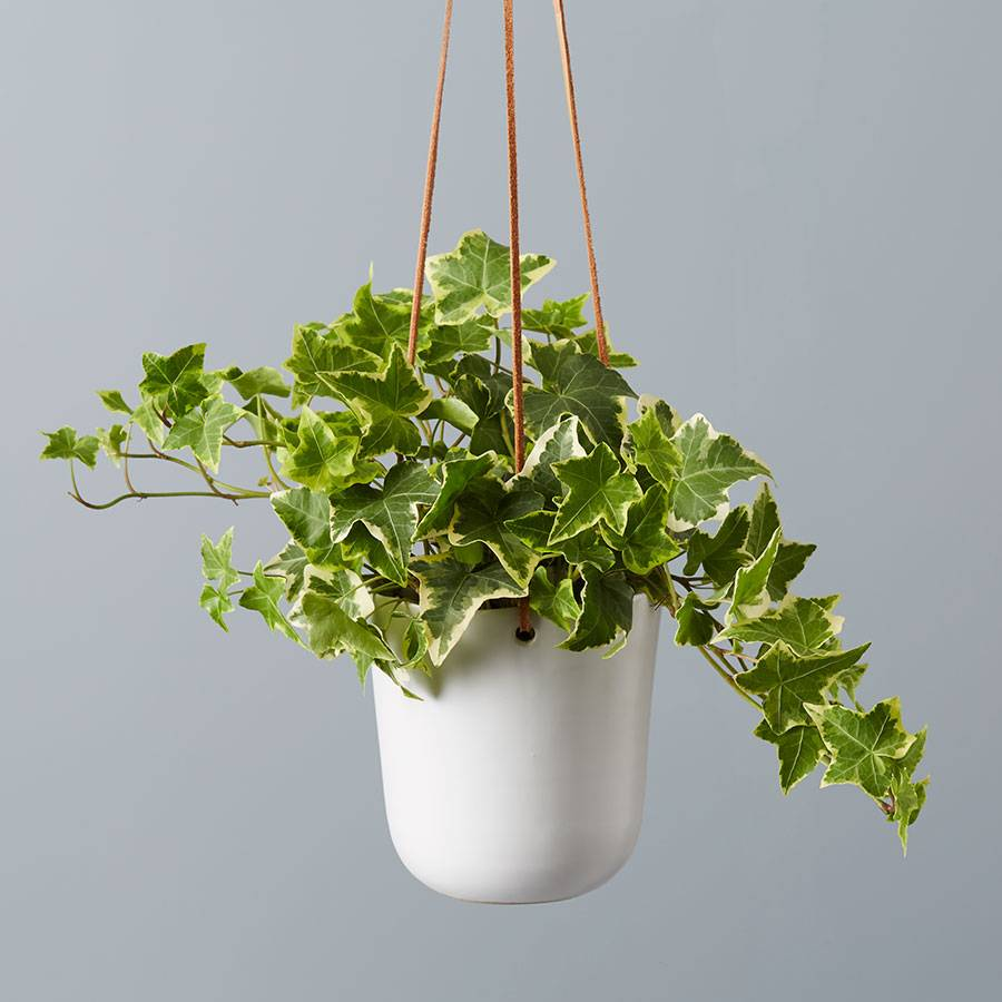 English Ivy Hanging Plant