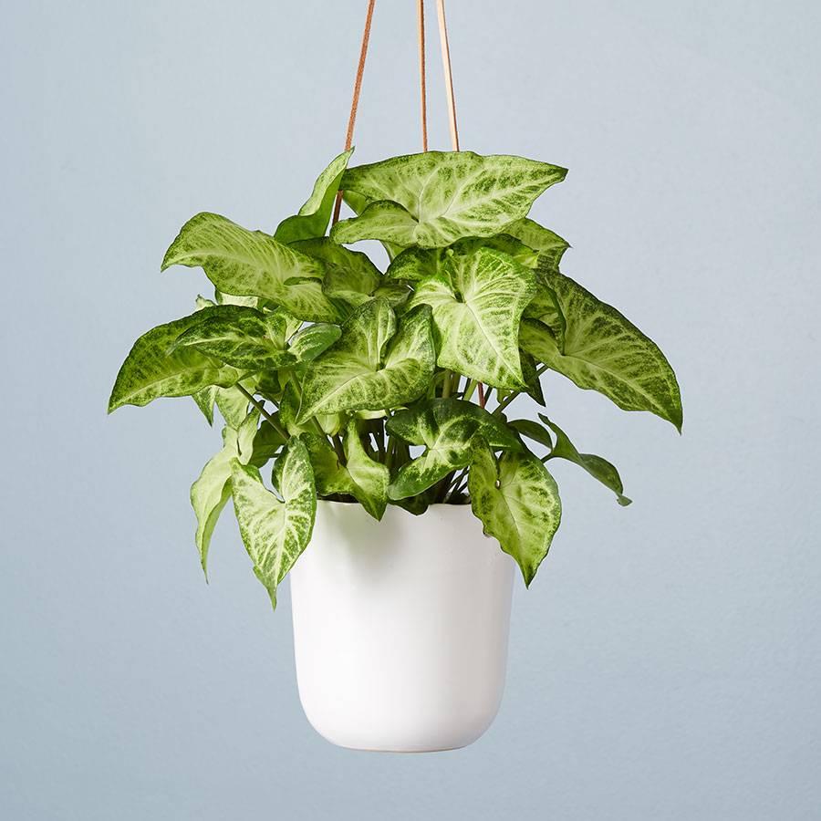 Arrowhead Hanging Plant (Syngonium)