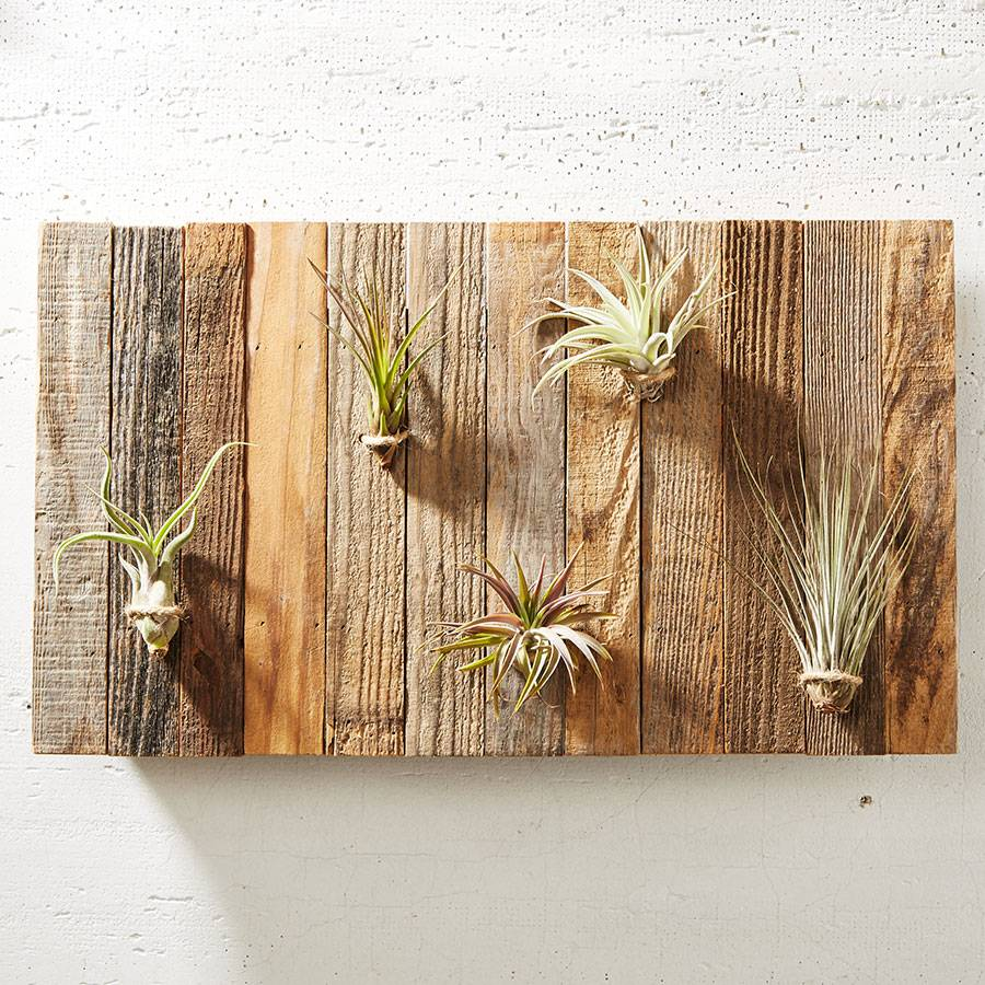 Air Plant Gallery Wall