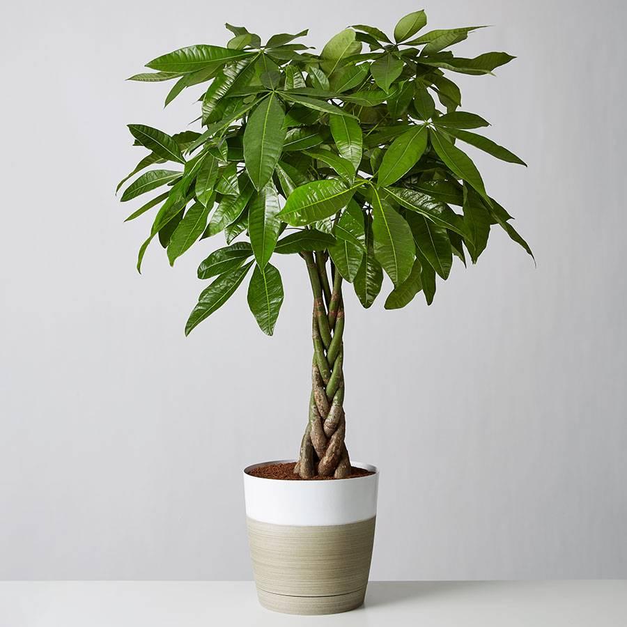Money Tree Floor Plant