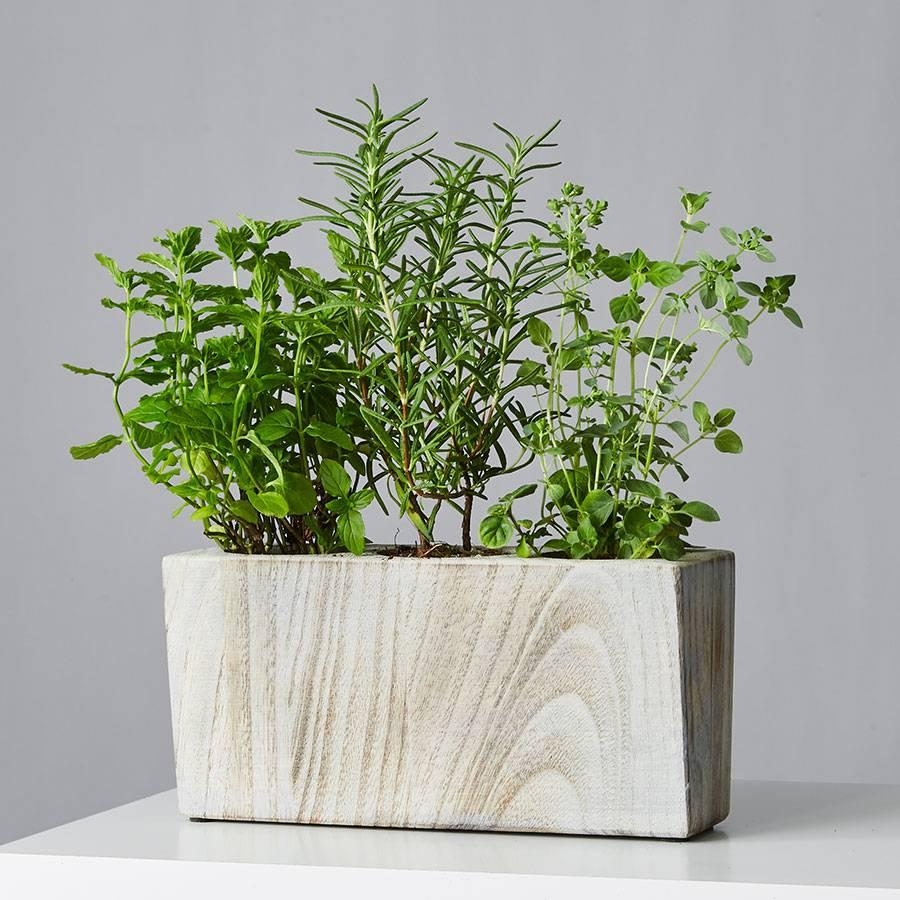 Mini Herb Garden Trio: Mint, Oregano, Rosemary