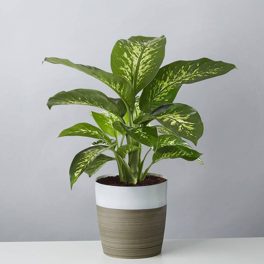 Dieffenbachia Floor Plant (Dumb Cane)