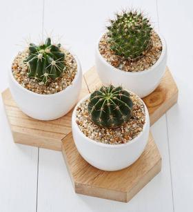 Mini Cactus Trio
