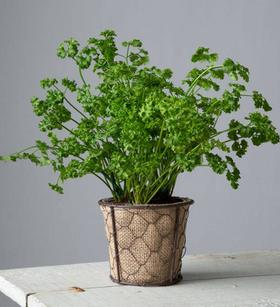 Parsley Plant