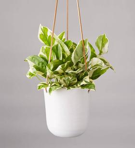 Pothos Hanging Plant