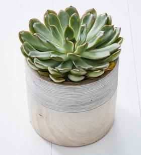 Echevaria Plant