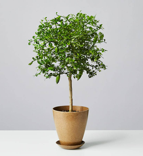 Finger Lime Tree