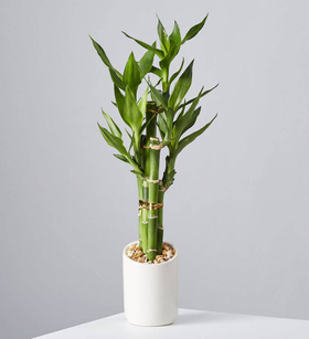 Mini Lucky Bamboo Plant